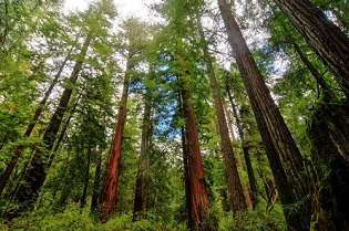 Redwood Forest Near San Lorenzo Valley California
